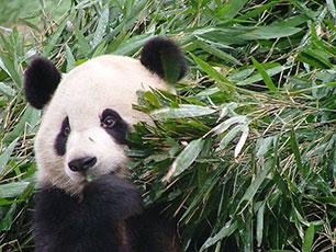 Panda i Chengdu