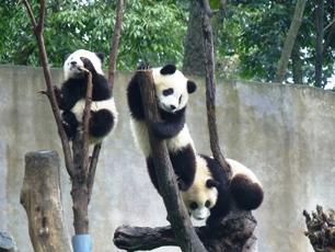 Lekande pandaungar, Sichuan