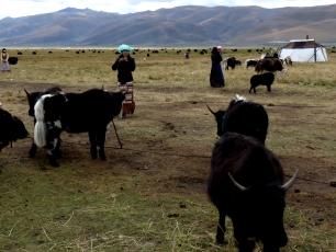 Nomader med jakar på slättlandet