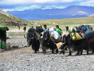 Jakar med packning i Tibet
