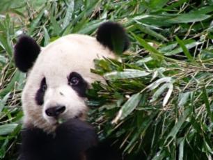 Panda äter bambu i Bifengxia, Sichuan.