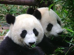 Pandor i Sichuan