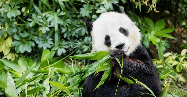 Panda i Bifengxia, Sichuan